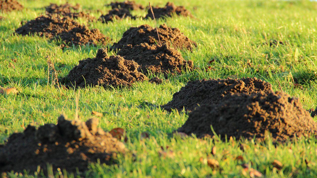 Jak zabezpieczyć trawnik przed kretami?